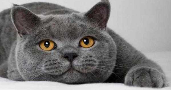 British Shorthair Fiyatları Pet Shop 2021